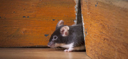 Are you suffering becuse of mice in London